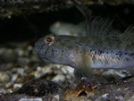 Sort kutling (Gobius niger)